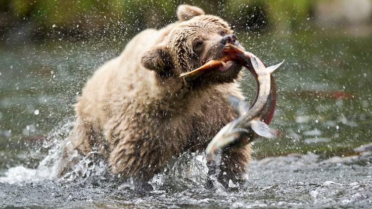 медведь ловит тайменя